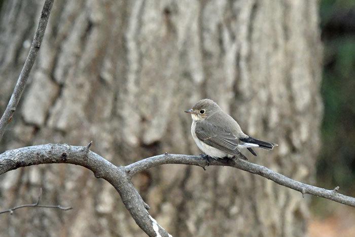 雑木林の鳥さん♪ <西尾白鶲>_e0248688_18060152.jpg