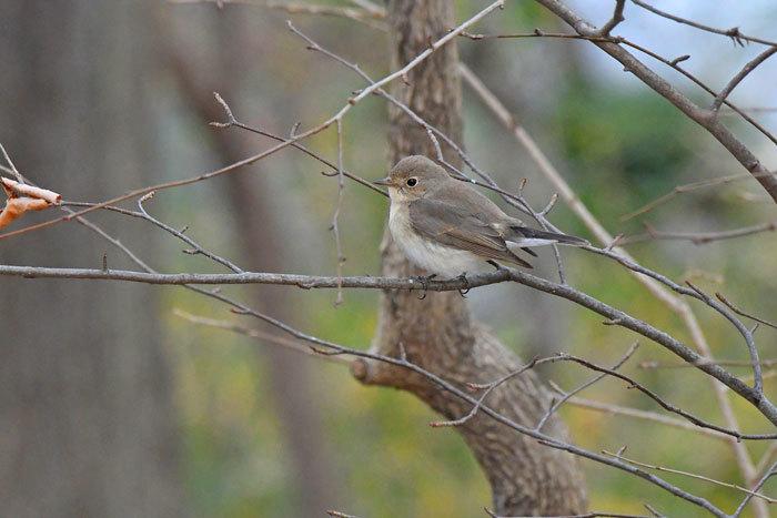 雑木林の鳥さん♪ <西尾白鶲>_e0248688_18062685.jpg