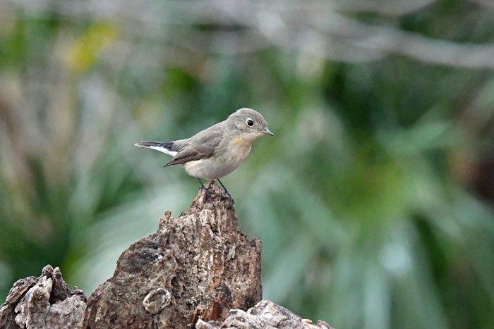 雑木林の鳥さん♪ <西尾白鶲>_e0248688_18064333.jpg