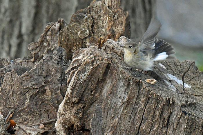 雑木林の鳥さん♪ <西尾白鶲>_e0248688_18070159.jpg