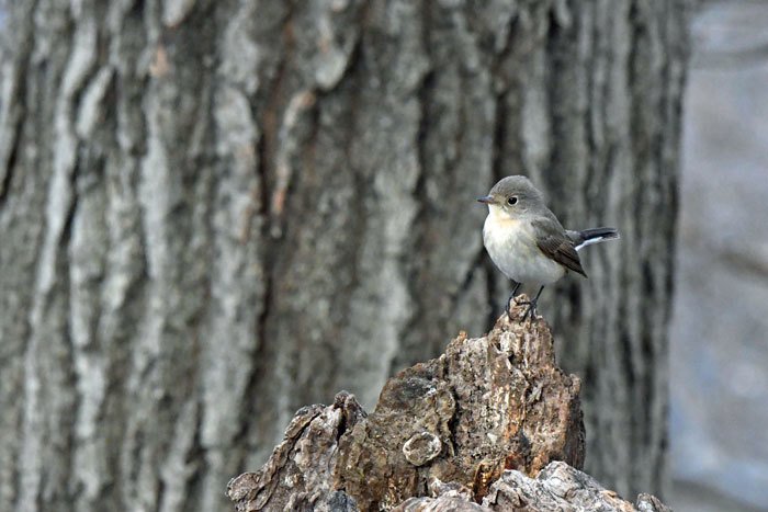 雑木林の鳥さん♪ <西尾白鶲>_e0248688_18071284.jpg