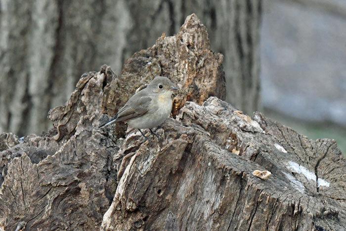 雑木林の鳥さん♪ <西尾白鶲>_e0248688_18072824.jpg
