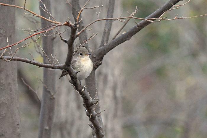 雑木林の鳥さん♪ <西尾白鶲>_e0248688_18074684.jpg
