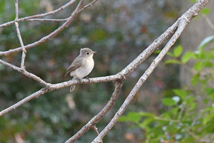 雑木林の鳥さん♪ <西尾白鶲>_e0248688_18075841.jpg