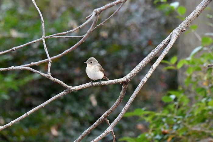 雑木林の鳥さん♪ <西尾白鶲>_e0248688_18083351.jpg