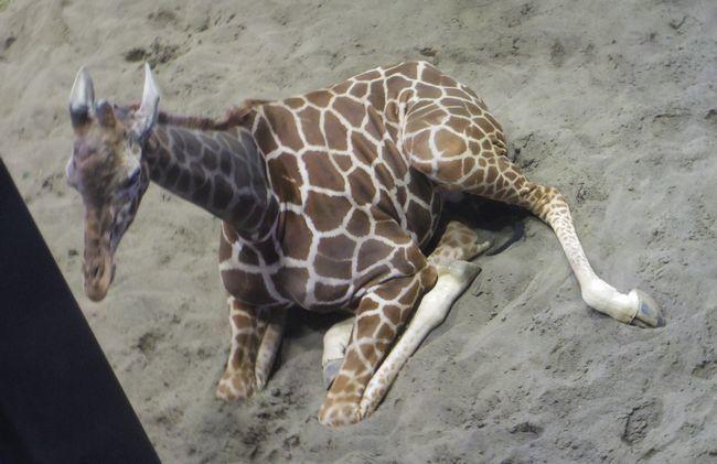 1月22日の円山動物園のアフリカゾーンとオオカミ_b0014576_12061426.jpg