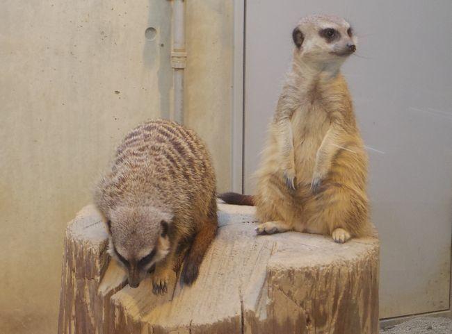 1月22日の円山動物園のアフリカゾーンとオオカミ_b0014576_12061975.jpg