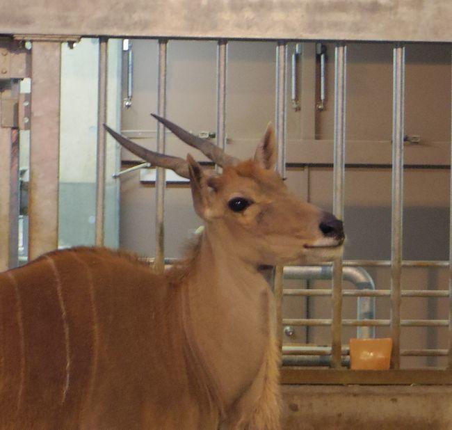 1月22日の円山動物園のアフリカゾーンとオオカミ_b0014576_12062482.jpg