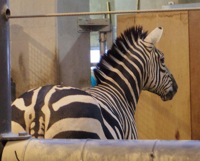 1月22日の円山動物園のアフリカゾーンとオオカミ_b0014576_12063025.jpg