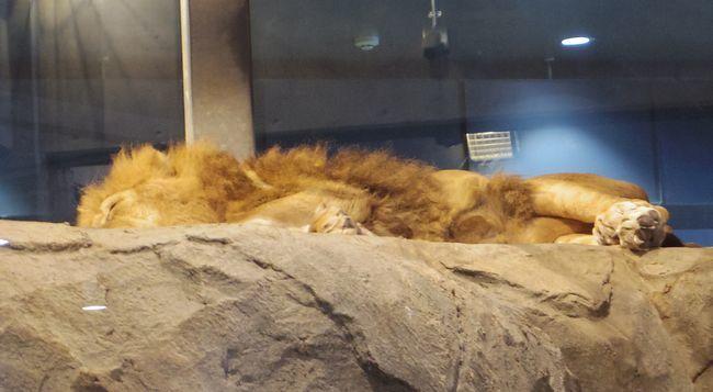 1月22日の円山動物園のアフリカゾーンとオオカミ_b0014576_12064397.jpg