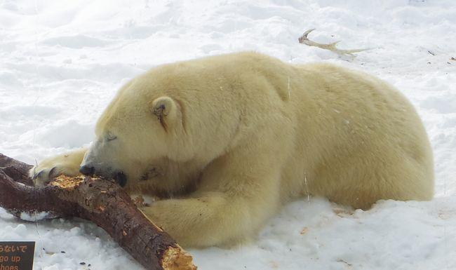 1月22日の円山動物園のくまとオランとチンプ_b0014576_12241185.jpg
