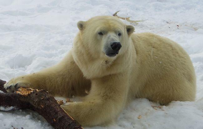 1月22日の円山動物園のくまとオランとチンプ_b0014576_12241948.jpg