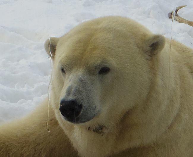 1月22日の円山動物園のくまとオランとチンプ_b0014576_12242370.jpg