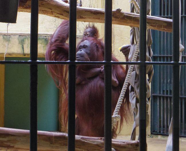 1月22日の円山動物園のくまとオランとチンプ_b0014576_12243663.jpg