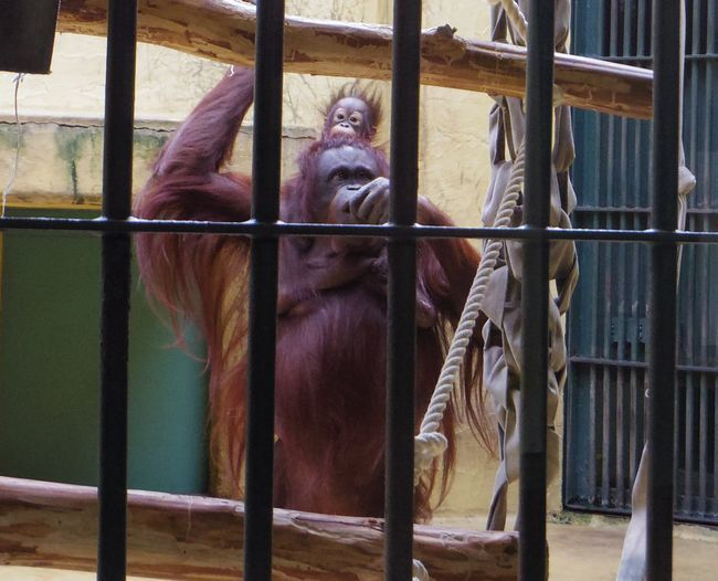 1月22日の円山動物園のくまとオランとチンプ_b0014576_12244011.jpg