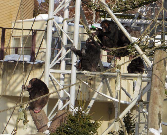 1月22日の円山動物園のくまとオランとチンプ_b0014576_12244483.jpg
