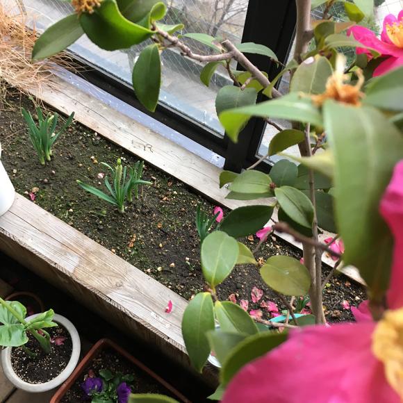 アミィの庭の水仙。_b0107163_15343737.jpg