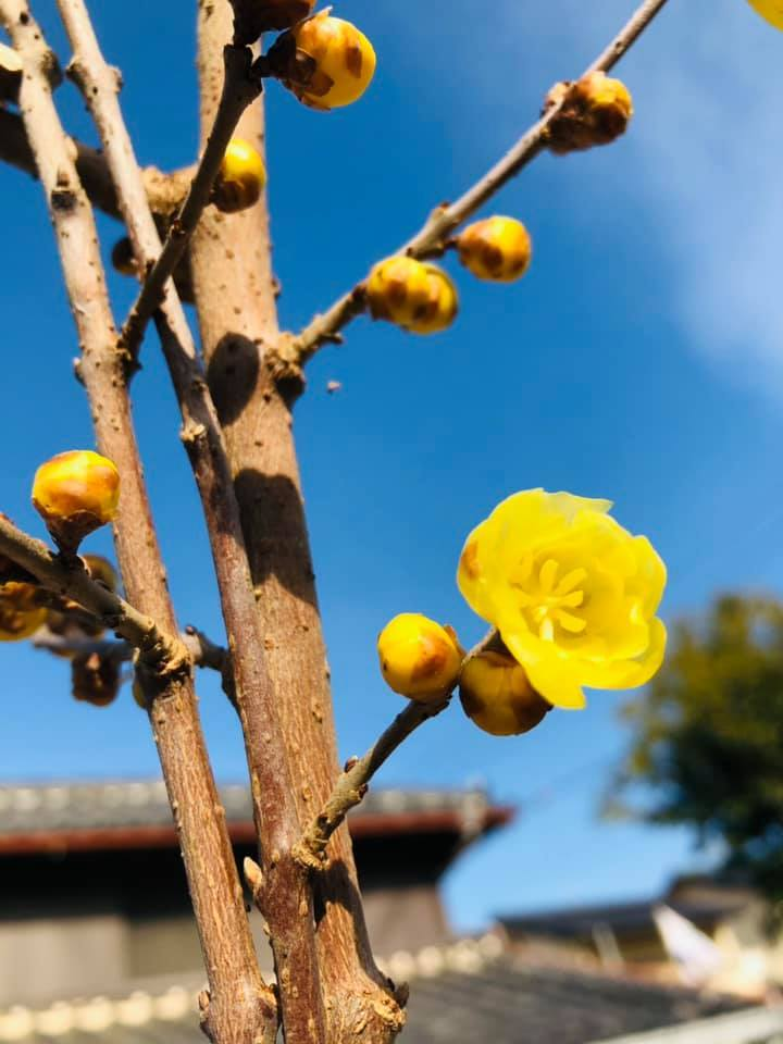 蝋梅が咲いています、 2021年が金運満開ように!_f0070743_21223188.jpg