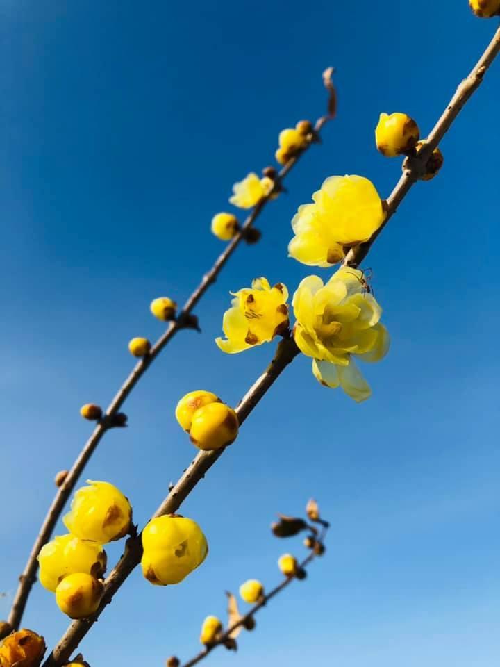 蝋梅が咲いています、 2021年が金運満開ように!_f0070743_21223549.jpg