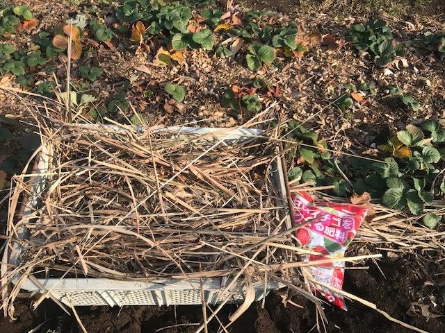 ブルーベリー追加植樹&イチゴに追肥1・25_c0014967_06521923.jpg