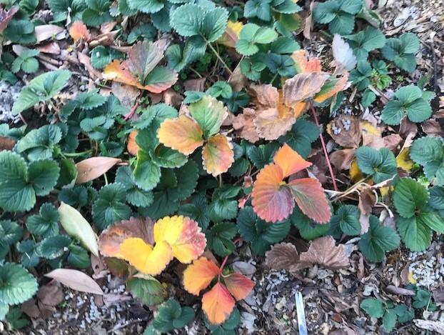 ブルーベリー追加植樹&イチゴに追肥1・25_c0014967_06523383.jpg