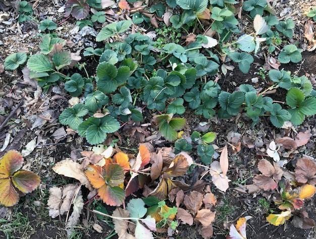 ブルーベリー追加植樹&イチゴに追肥1・25_c0014967_06532532.jpg