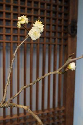 花だより 白梅と黒高麗扁壺_a0279848_14535205.jpg