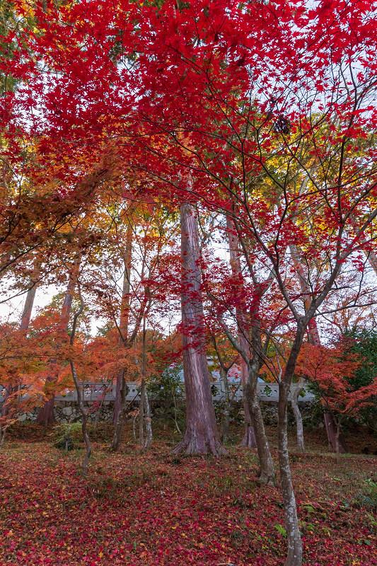 2020紅葉きらめく京都 和束正法寺の散り光景_f0155048_23154260.jpg
