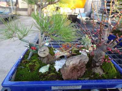 正月用寄せ植え盆栽をリース及び販売しました!_d0338682_11343547.jpg