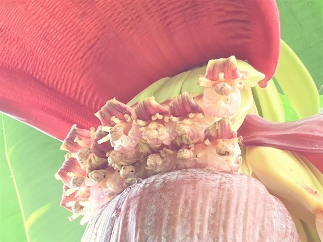 バナナの花_c0211615_13474511.jpg