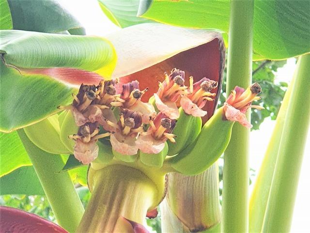 バナナの花_c0211615_13474518.jpg