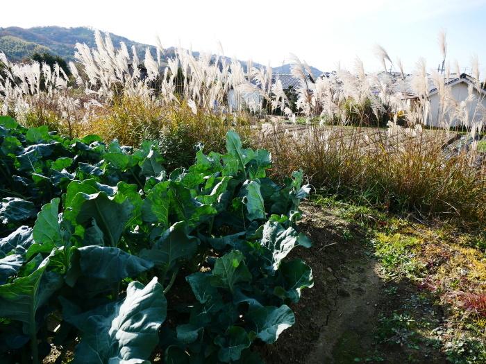 里山の風景 枯れすすき  2021-02-01 00:00_b0093754_20052377.jpg