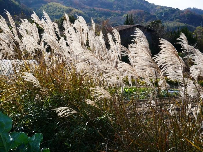 里山の風景 枯れすすき  2021-02-01 00:00_b0093754_20053415.jpg