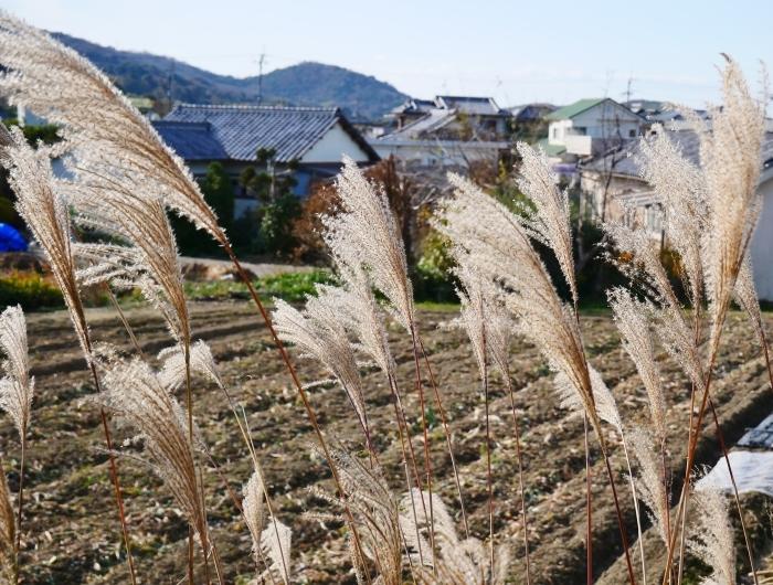 里山の風景 枯れすすき  2021-02-01 00:00_b0093754_20060730.jpg