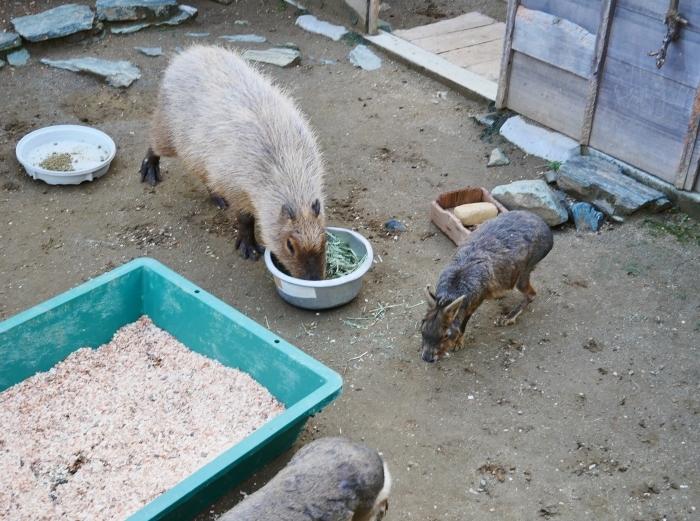 お城の動物園 カピバラ  2021-02-03 00:00_b0093754_23230864.jpg