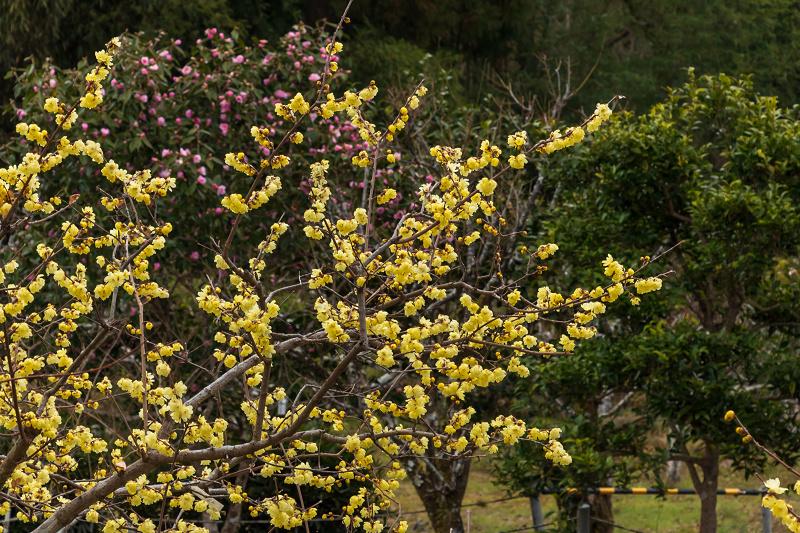 冬の花咲く恵心院_f0155048_23535039.jpg