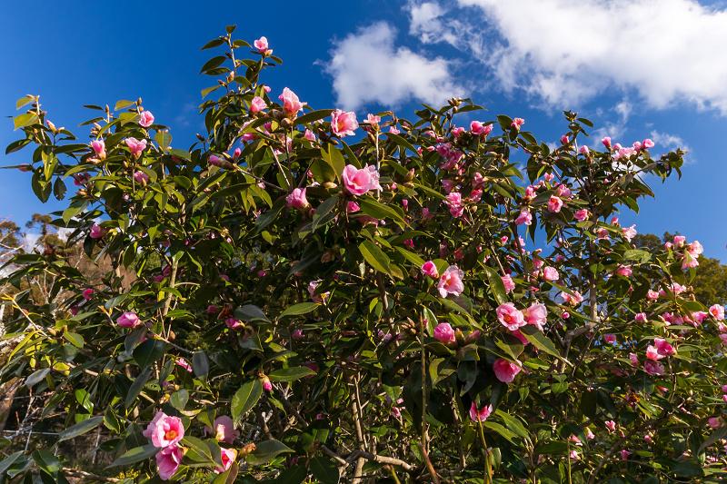 冬の花咲く恵心院_f0155048_23540249.jpg