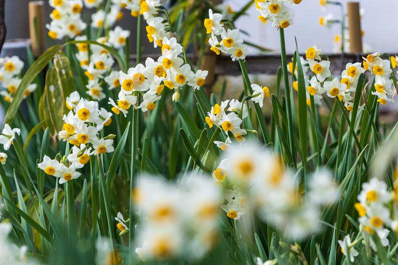 冬の花咲く恵心院_f0155048_23555144.jpg