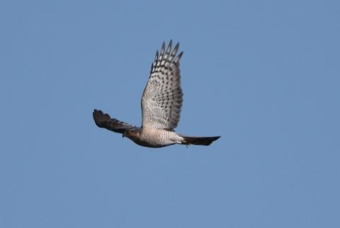★クロツラが東なぎさに・・・先週末の鳥類園(2021.1.30~31)_e0046474_14503682.jpg