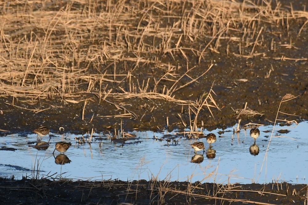 ★クロツラが東なぎさに・・・先週末の鳥類園(2021.1.30~31)_e0046474_15352481.jpg