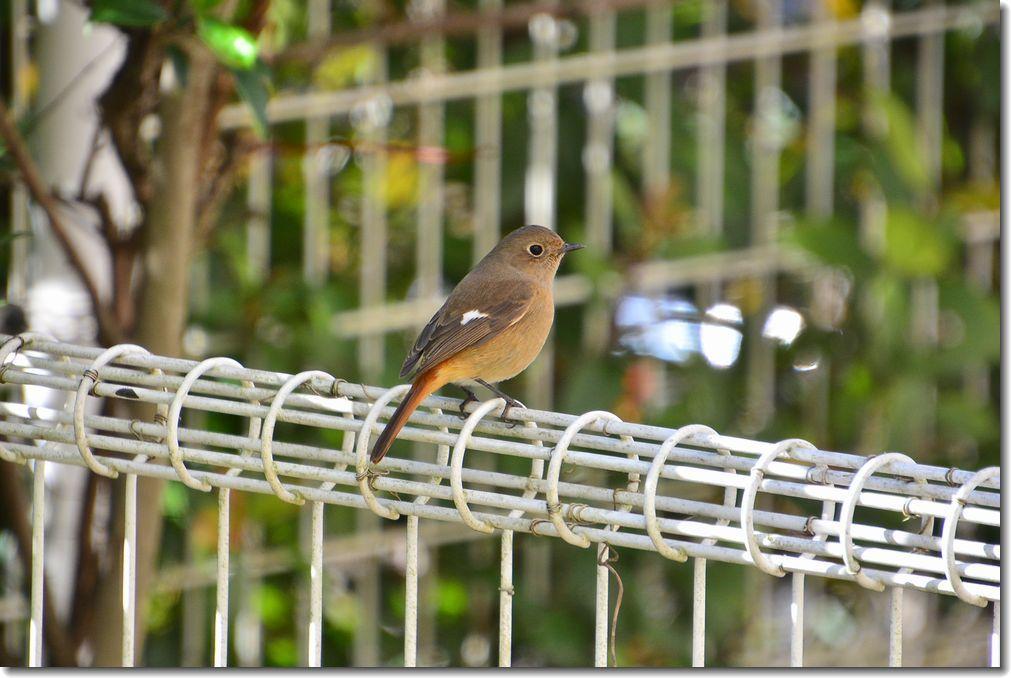 庭に来る鳥_d0089358_21130281.jpg