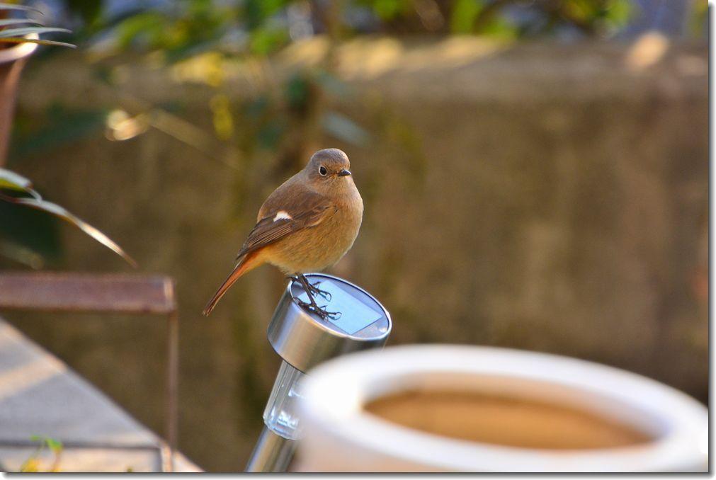 庭に来る鳥_d0089358_21131577.jpg