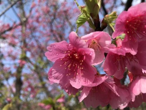 Cherry Blossom seeing._c0153966_19061941.jpeg