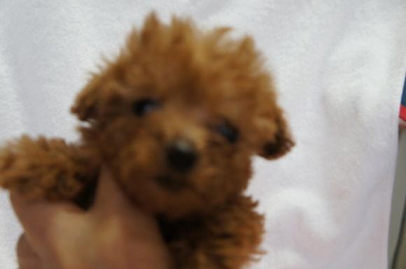 12月8日生まれのトイプードル女の子です。_a0388110_14484509.jpg