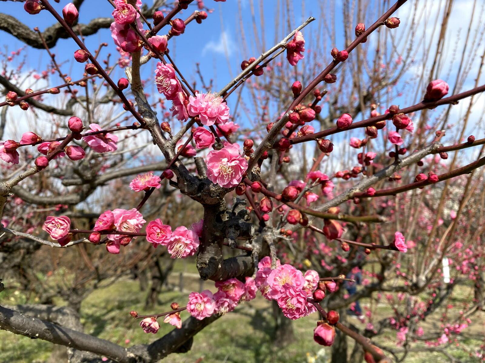 例年より1日早い立春の梅_c0129047_18365555.jpg