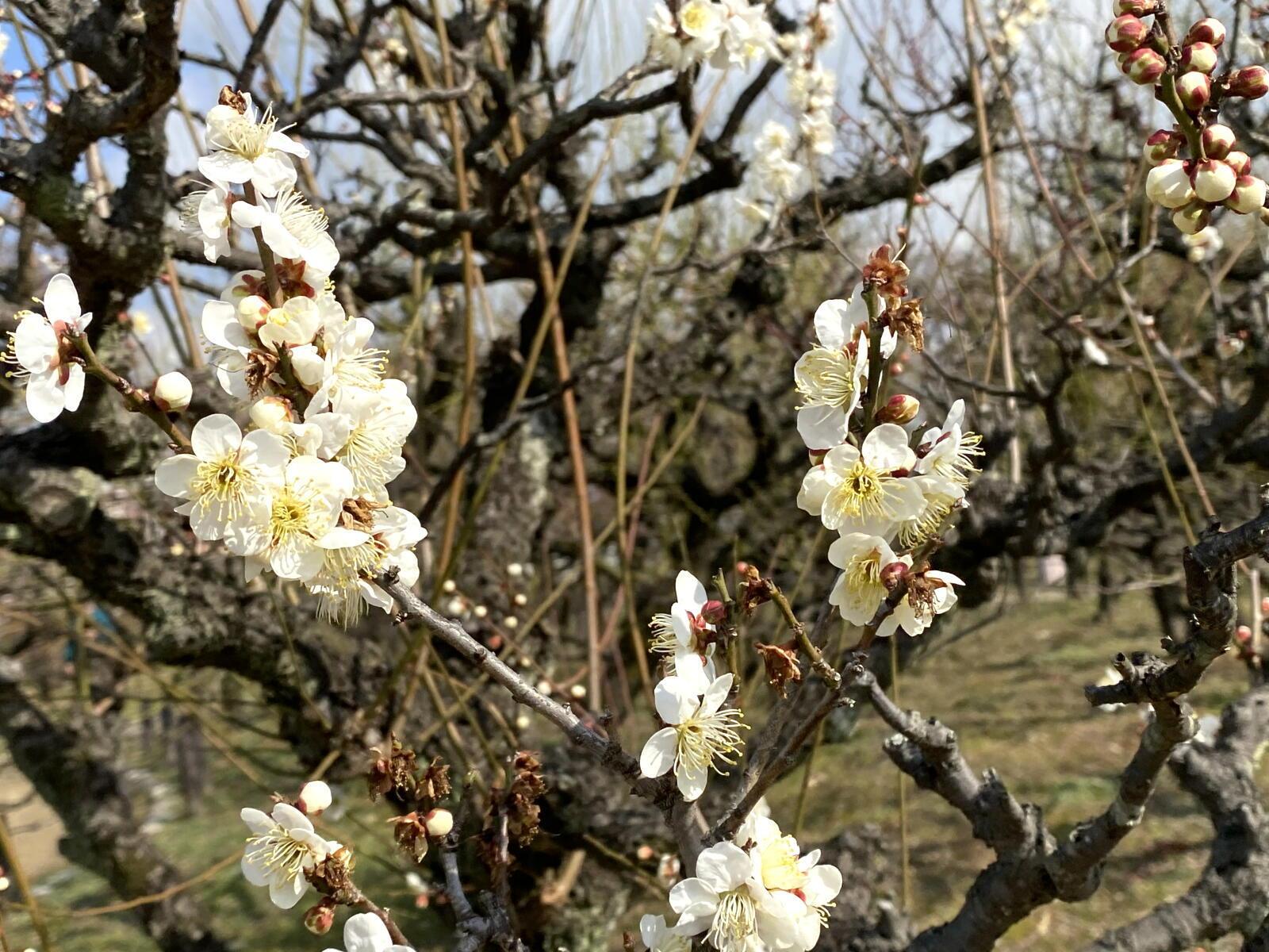 例年より1日早い立春の梅_c0129047_18372197.jpg