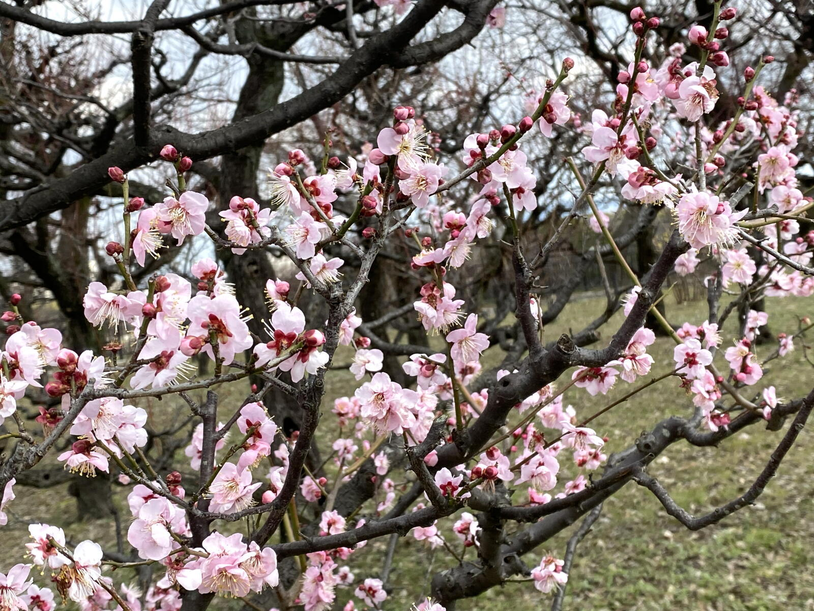 例年より1日早い立春の梅_c0129047_18382894.jpg