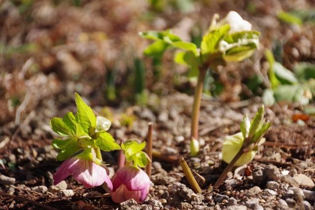 立春を過ぎたマイガーデン_b0356401_22343744.jpg