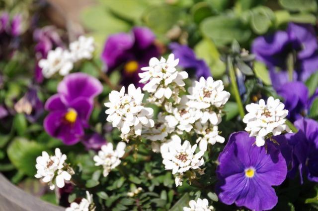 立春を過ぎたマイガーデン_b0356401_22350281.jpg