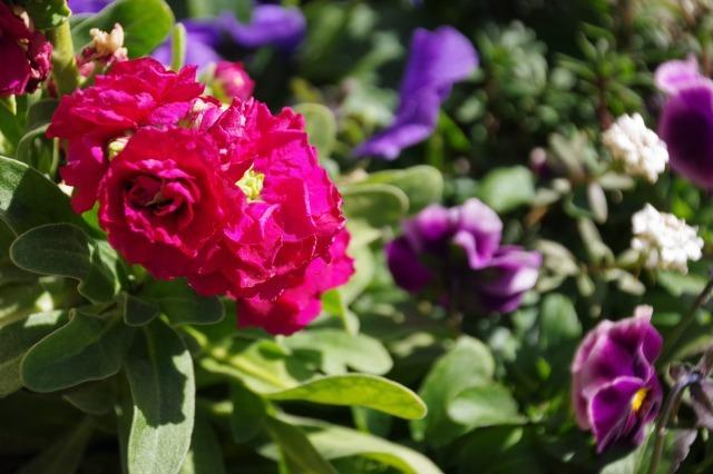立春を過ぎたマイガーデン_b0356401_22350599.jpg